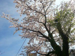 桜が満開の季節にスタートしました。