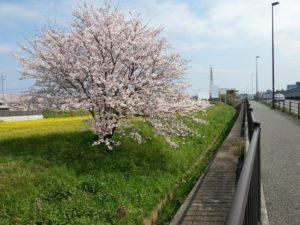 桜前線を追いかけて日本列島を北上する。